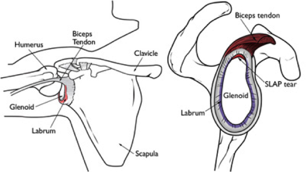 In front anterior and in back posterior of this attachment point
